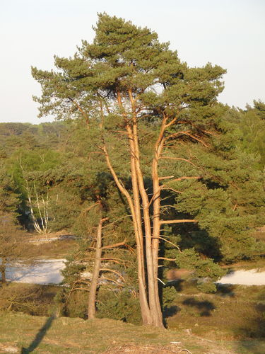 WEB Bomen in de Natuur Brunssumerheide Aug 2015