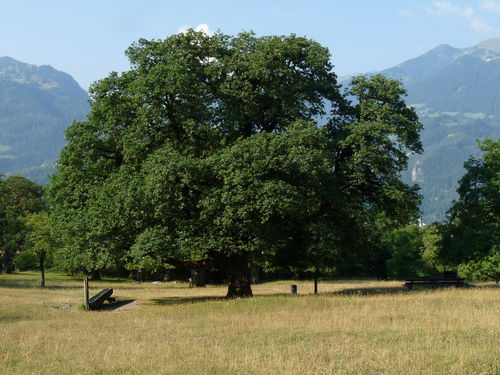 WEB Bomen in de Natuur Maïenfeld Eik Aug 2015